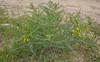 Astragalus caraganae