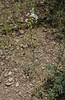 Ornithogalum narbonense