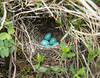 Nest and eggs of Saxicola rubetra
