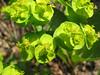 Euphorbia esula