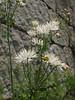 Thalictrum petaloideum