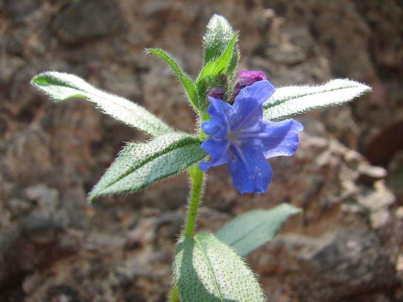 Lithospermum cf. erythrorhizon