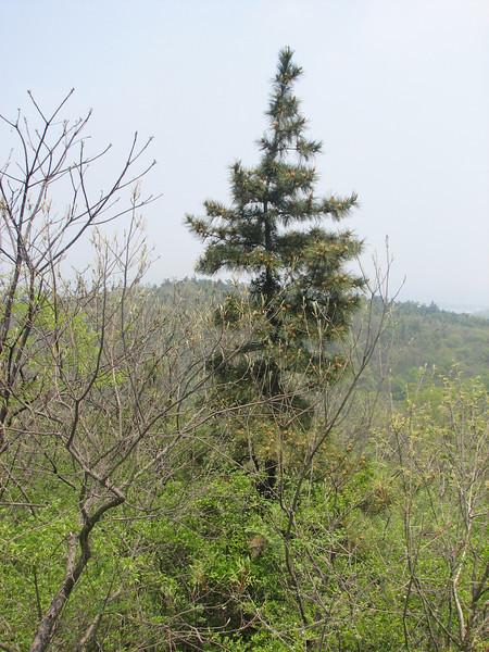 Pinus ?