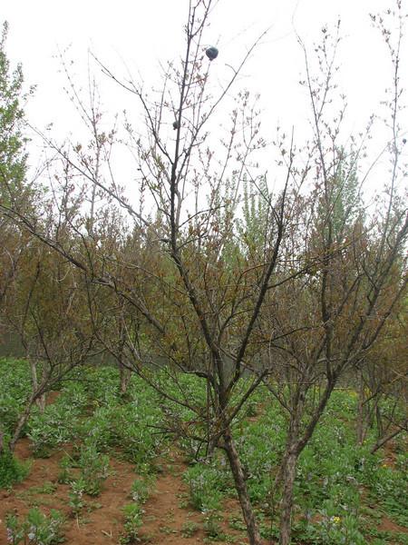 Shrub of Punica granatum (native to Iran)