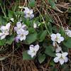 Viola grypoceras    (no Viola grypoceras)