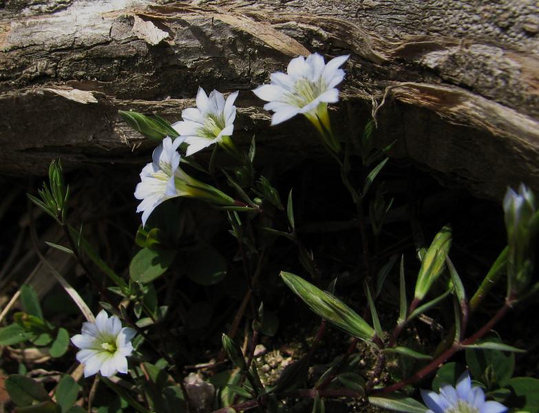 Gentiana delicata, Syn. G. heterostemon var. chingii and G. pedicellata var. chingii