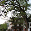 Pterocarya  stenoptera, red poplar 500 years old,(NL: Chinese vleugelnoot) Hongcun,(Unesco World Heritage Site)
