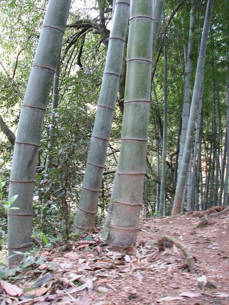 Phyllostachys spec. (bamboo)