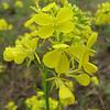 Brassica napus (NL: koolzaad)