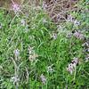 Corydalis decumbens