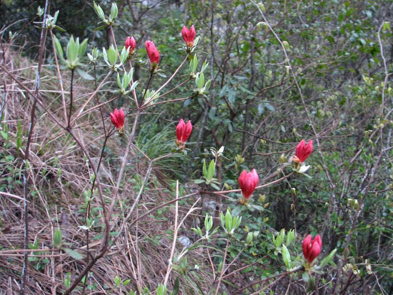 Rhododendron spinuliferum