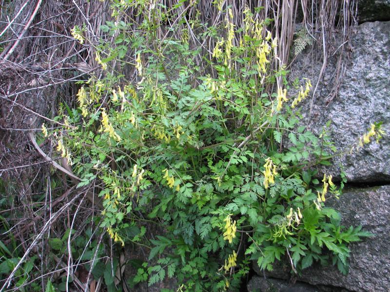 Corydalis spec. 3