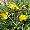 Taraxacum cf. mongolicum