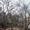 Quercus stewardii, Huangshan oak