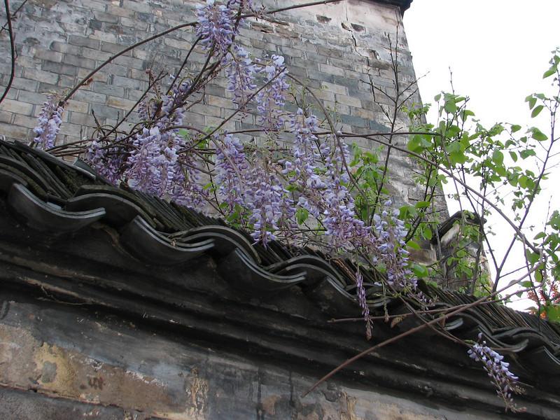 Wisteria sinensis,  Hongcun, (Unesco World Heritage Site)