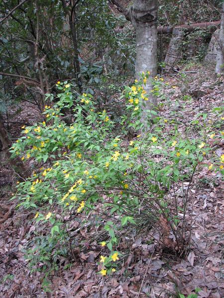 Kerria japonica (NL: ranonkelstruik)