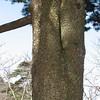 trunk of Pinus huangshanensis, Natonal Park Huangshan, Anhui, East China