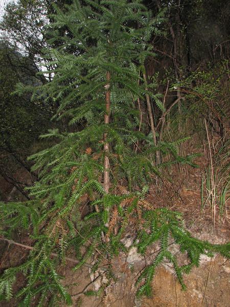 Cunninghamia lanceolata, Chinese Fir