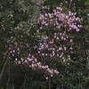 Rhododendron  cf. mucronulatum