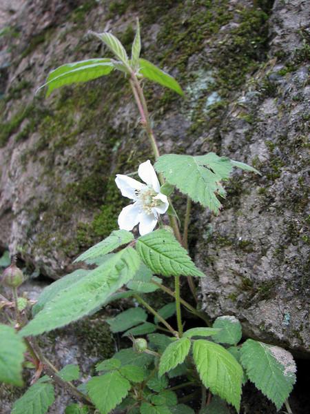 Rubus crataegifolius