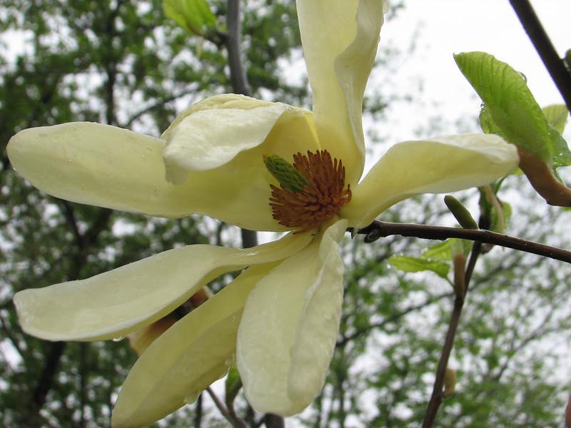 Michelia cf. alba