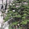 Pinus huangshanensis, Natonal Park Huangshan, Anhui, East China