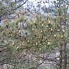Pinus spec.