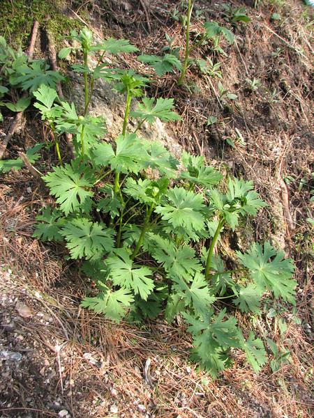 Trollius chinensis