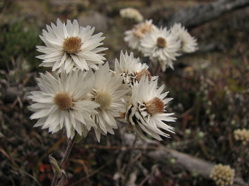Anaphalis nepalensis var. nepalensis, Djaksim Camp 4053m-Bahtang Glacier-Camp 4379m