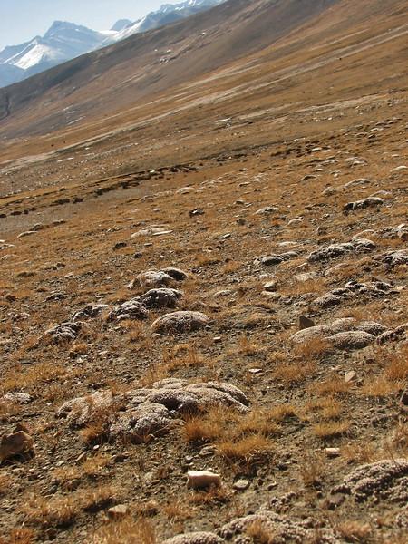 Androsace spec. Everest Base Camp 5156m-Zangmu