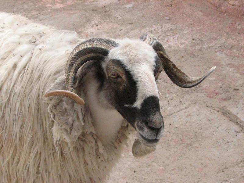 Sheep, Lhasa, 3650m,Tibet