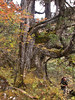 Juniperus indica var rushforthiana