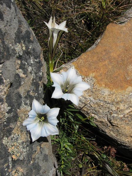 Gentiana ornata, light coloured form, Kharta Camp 3710m-Shao La Basic Camp 4662m