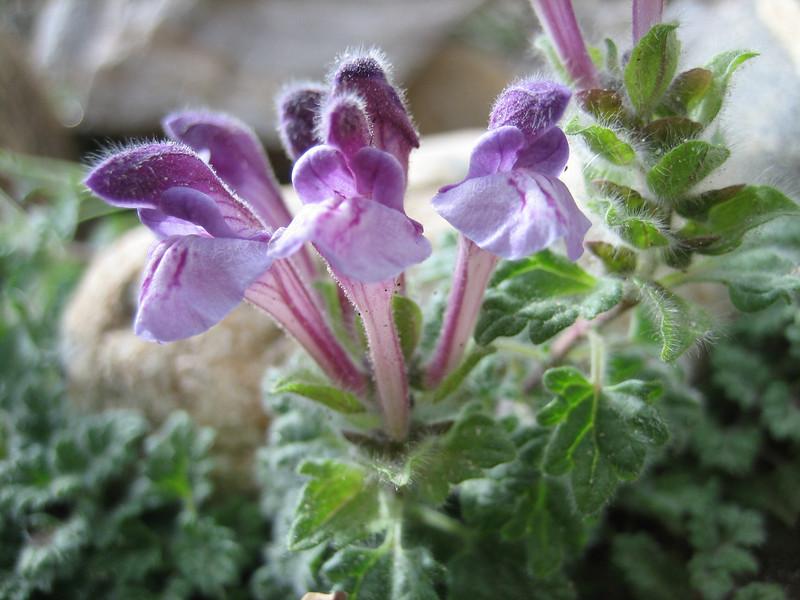 Scutellaria prostrata, Latse 4050m-Kharta Camp 3710m