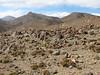 Astragalus spec. and Androsace spec., Gyangtse 4032m-Latse 4050m, Tibetan plateau,