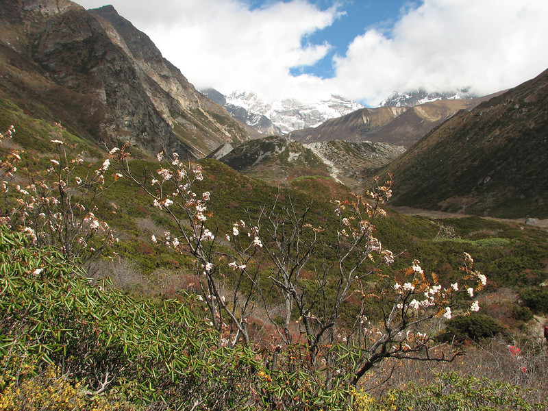 Sorbus rehderiana, Pethang Ringmo Camp 4941m-Langma La High Camp 5098m