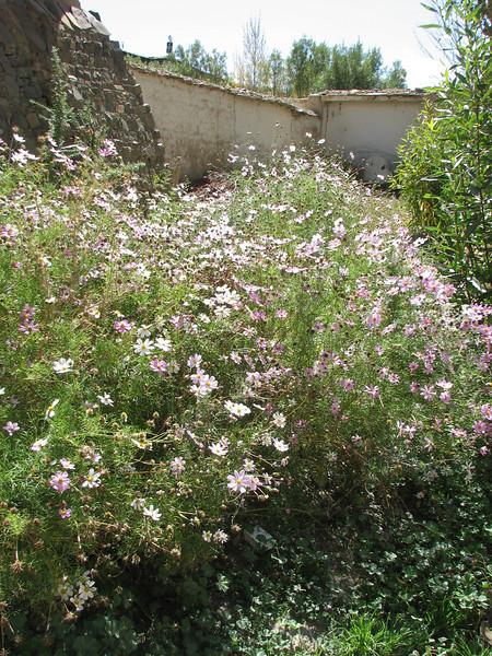 Cosmea spec, native to Mexico, garden plant, Gyangtse 4032m-Latse 4050m