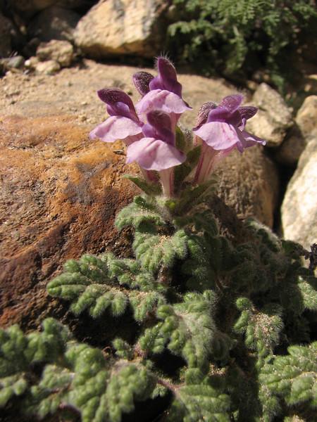 Scutellaria prostrata, near Kharta Camp 3710m