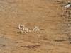 Hemitragus jemlahicus, Himalayan tahr, Pethang Ringmo Camp 4941m-Kharta Ridge 5886m v.v.