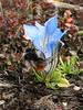 Pollinator bumblebee on Gentiana ornata, Djaksim Camp 4053m-Bahtang Glacier-Camp 4379m