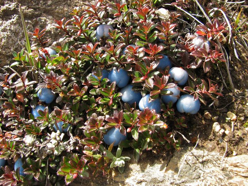 Gaultheria trichophylla, Djaksim Camp 4053m-Bahtang Glacier-Camp 4379m