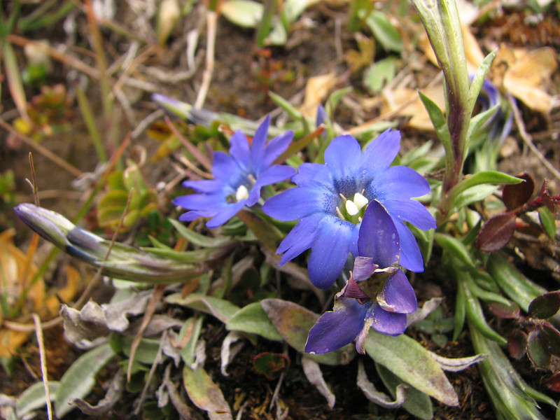Gentiana cf. micans, Djaksim Camp 4053m-Bahtang Glacier-Camp 4379m