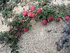 Cotoneaster microphyllus, Latse 4050m-Kharta Camp 3710m