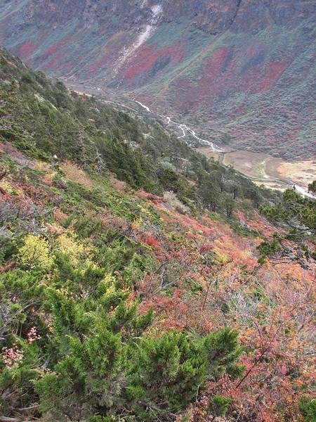 Juniperus indica