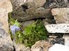 Delphinium cf. glaciale, Pethang Ringmo Camp 4941m-Kharta Ridge 5886m v.v.