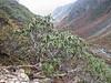 Rhododendron spec. Shao La Basic Camp 4253m - Shao La 4904m-Djaksim Camp 4053m