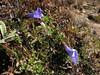 Cyananthus pedunculatus, Djaksim Camp 4053m-Bahtang Glacier-Camp 4379m