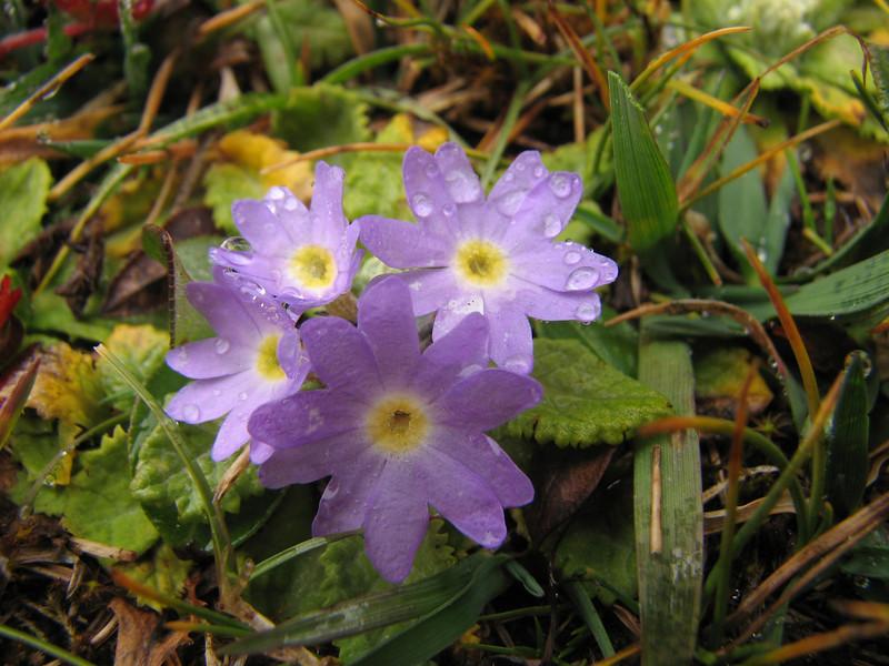 Primula walshii, Bahtang Glacier-Camp 4379m-Pethang Ringmo Camp 4941m