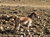 Equus hemionus, Everest Base Camp 5156m-Zangmu