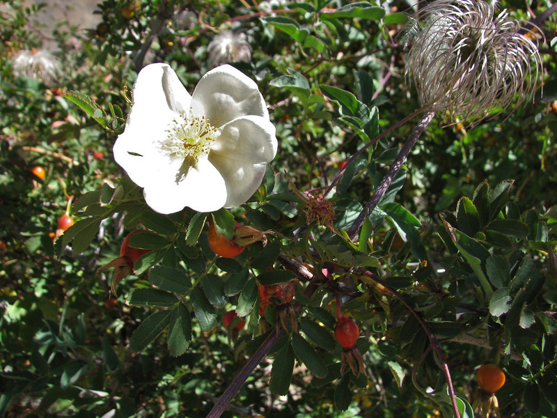 Rosa sericea, Kharta Camp 3710m-Shao La Basic Camp 4662m